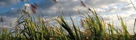 landscape suikerriet